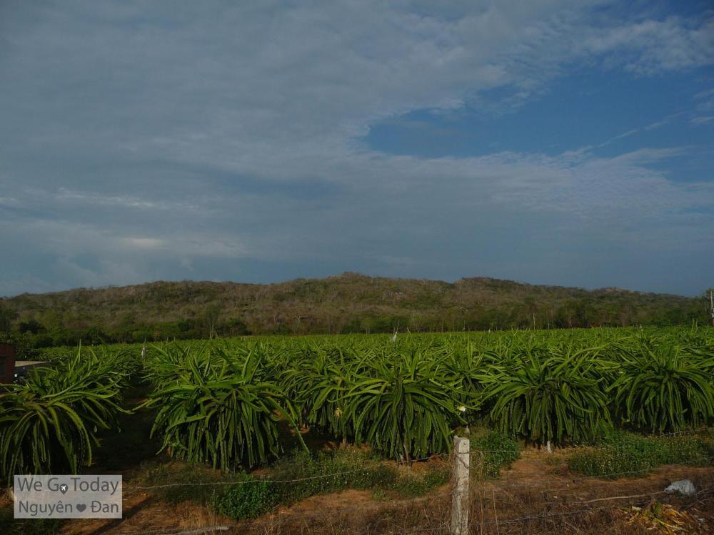 Vườn Thanh Long Phan Thiết