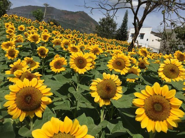 Vườn hoa hướng dương trên đường từ Bảo Lộc đi Đà Lạt