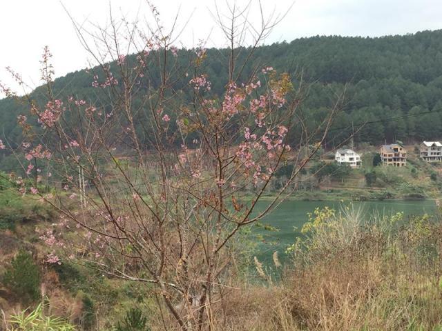 Hoa Anh Đào bên Hồ Tuyền Lâm