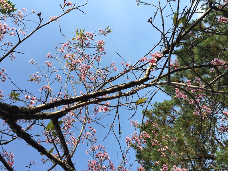 Cây Hoa Anh Đào trước Thiền Viện Trúc Lâm