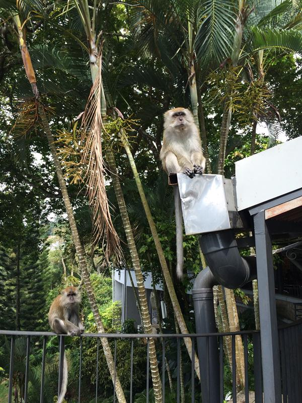 Có nhiều khỉ trong khu vực Penang Hill