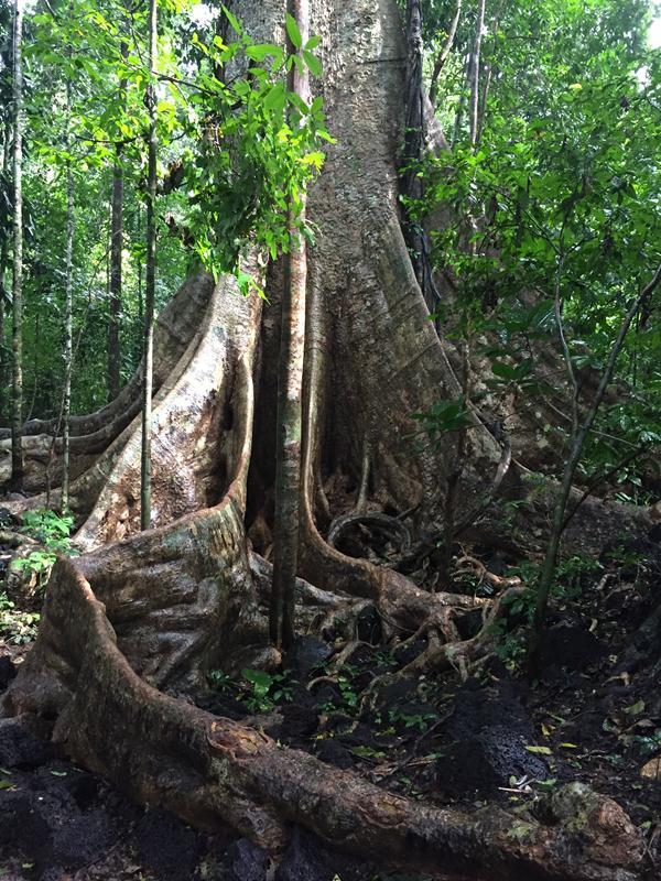 cây tùng bàu sấu