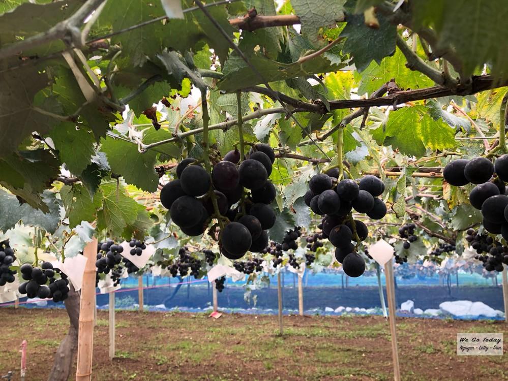 Vườn nho Asamaen - Đây là loại nho đen để làm rượu